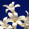 Sweet perfume (cattycamehome) Tags: flowers blue sky white flower macro tag3 taggedout bulb petals bravo tag2 all tag1 perfume searchthebest bright blossom sweet quote quality © sunny rights smell reserved hyacynth fragrance scented excellence catherineingram blueribbonwinner magicdonkey outstandingshots abigfave january2007 cattycamehome fragranced beverlynichols allrightsreserved©
