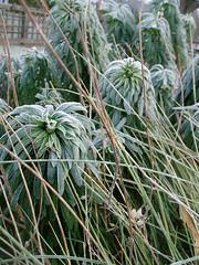 Euphorbia and sticks frosted