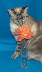 Amira and the rose (Zyada) Tags: blue orange rose cat amira animalsincaptivity msh0407 ccc67 msh040711