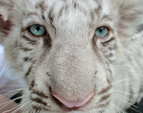 Baby White Tigers with Blue Eyes