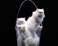 Cats in a Bucket (Karnevil) Tags: cats white animals persian bucket abigfave bestofcats anawesomeshot impressedbeauty lmaoanimalphotoaward