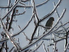 female house finch and ice