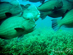 School of Humphead Parrotfish on Mu Koh Surin Islands