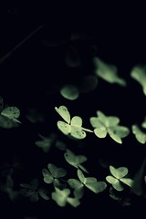 (parade in the sky) Tags: plants green nature fairytale dof f14 clover
