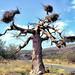 Südafrika Boabab an der Grenze zu Zimbabwe