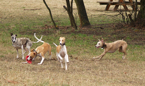 my 4 Vienna-Whippets
