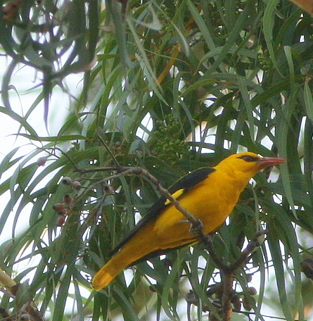 Golden Oriole Lalbagh 12 mar 07
