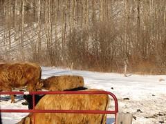 MOOOOOOOO! (stealthopera) Tags: family cows northhampton artie