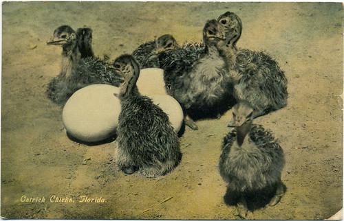 Postcard: Ostrich Chicks, Florida