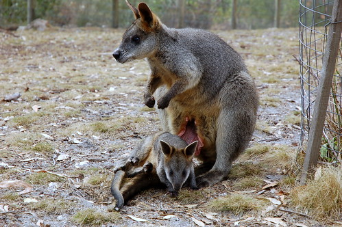 Joey Getting Out of His Mama's Pouch