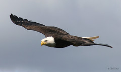 Bald Eagle (zpaperboyz) Tags: canada bird eye photography flying photo  bc image eagle canon20d tail flight wing baldeagle beak bald picture feather pic talon photograph raptor prey blanche tte princerupert haliaeetus leucocephalus tamronlens specnature pygargue specanimal impressedbeauty chadgraham flickrdiamond diamindclassphotographer northerncgraham009tnt07 sustantivo
