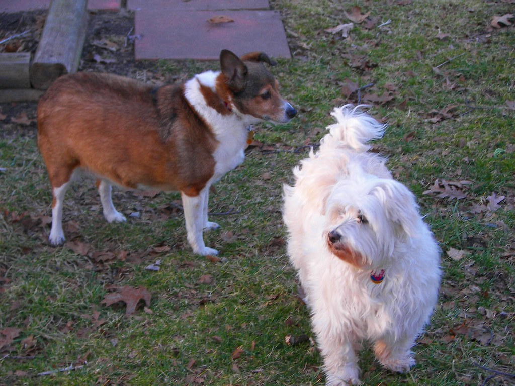 Shetland sheepdog and a Westie, West Highland White Terrier