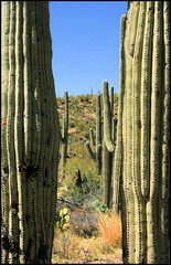 Saguaro Window (ARKNTINA) Tags: arizona cactus southwest nature cacti landscape desert tucson az vista handheld 1855mm saguaro scrub americanwest coronadonationalforest catalinamountains sabinocanyon tucsonaz tucsonarizona santacatalinamountains naturallandscape desertsouthwest randomnature blackettsridge canonefs1855mmf3556ii blackettsridgetrail az07 sabinocanyonrecreationarea santacatalinarangerdistrict random6