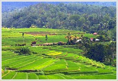 Bali - desa Ubud (Franc Le Blanc) Tags: travel bali green indonesia asia ricefields ubud sawah abw naturesfinest specnature travelerphotos