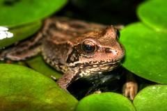 Frog (stuart100) Tags: green garden gold pond wildlife amphibian frog urbanwildlife britishwildlife gardenpond