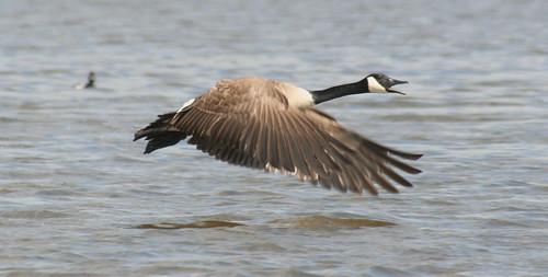 canada goose attack 02