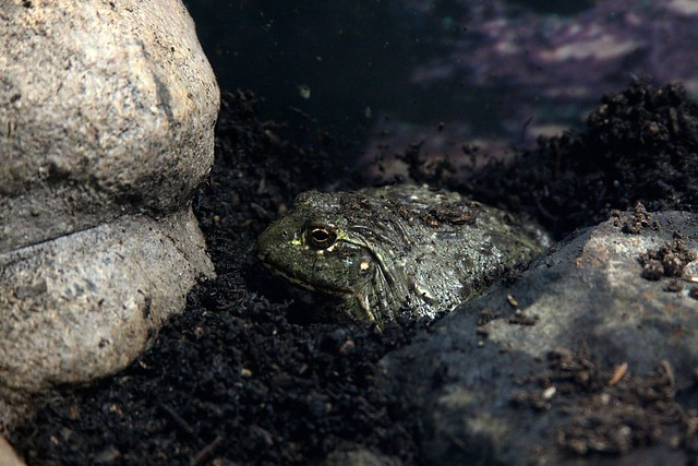 frog, oregon zoo