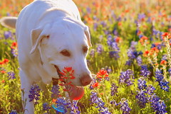 (Freckles Photography) Tags: flowers blue sunset red portrait flower nature beautiful smile field yellow spring nikon lab warm labrador glow play sweet candid tx country vivid bluebonnet retriever ennis mothernature bold indianpaintbrush d80 nikond80