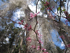 Spring flowers 041 (2) (Tangled Bank) Tags: wild nature natural alachua county florida tree spanish moss flower bird