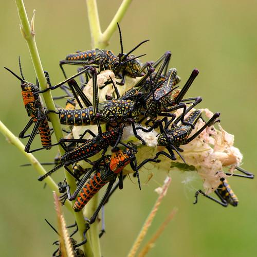 Locusts #2