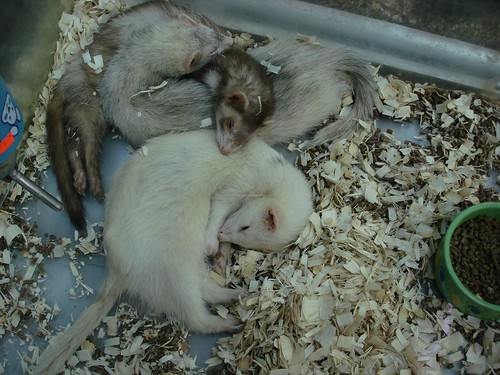 Snuggly ferrets