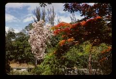 Puerto Rican oak or roble and flamboyan (t13hman) Tags: oak puertorico flamboyan roble birkylphotog