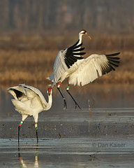 Whooping Crane Dance #3 by Dan Kaiser (dhkaiser) Tags: county display crane jackson bottoms ewing ias courtship whooping specanimal animalkingdomelite avianexcellence