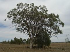 Can you spot the 3 Koalas?