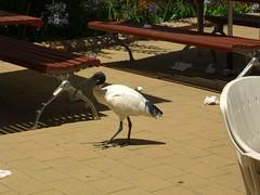 Ibis at Zoo