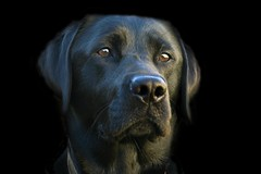Buffy (ssklar) Tags: portrait dog black lab labrador edited retriever top20dogpix blacklab buffy impressedbeauty 2006090615483300