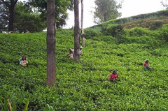 0032 - tea pickers.jpg (chrisbulle) Tags: green work tea srilanka ceylon teapicking teapickers