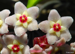 Hoya carnosa flowers (Martin_Heigan) Tags: camera hairy flower macro nature digital fur southafrica succulent nikon close martin quality photograph wax d200 dslr hoya carnosa asclepiadaceae supershot asclepiad stapeliad 105mmf28gvrmicro nikonstunninggallery heigan 7january2007 mhsetstapeliads mhsetflowers