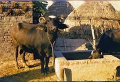 Punjab farm, India 1981 (David Stephensen) Tags: india animals buffalo haystack punjab decoratedanimal