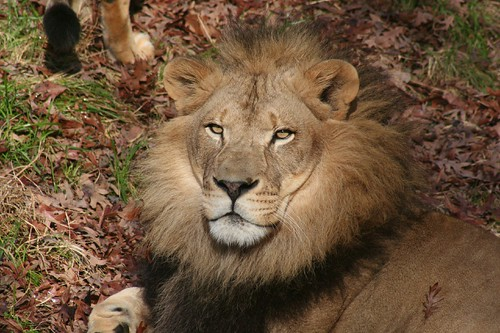 NC Zoo's John Ireland took this photo of the adult male African lion in late ...