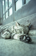 don't disturb me! - synchronized sleep (akira*) Tags: summer film animal japan cat tokyo fuji gray myfav natura 2006 yoyogi classica einladung 135film superebcfujinon