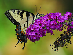 Purple Feeding #32 (ozoni11) Tags: flower nature butterfly insect dc wings nikon bravo purple bokeh wing butterflies maryland insects slowers nikonstunninggallery abigfave impressedbeauty qemdadminfave