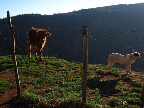 Cow on a ledge