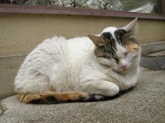 sleeping  (hamapenguin) Tags: sleeping mike animal cat calico neko  straycat    kittyschoice