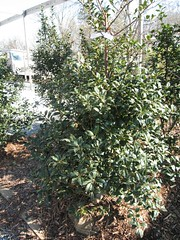 image English Holly 5' tall
