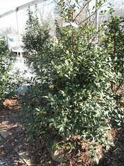 image English Holly 5' tall