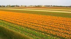 Tulpenfelder  - Keukenhof -  Holland -  Frühli...