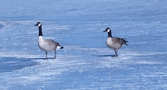 febuary207 (teachergilda) Tags: geese canadageese febuary 2007 wildfowl yearinpictures