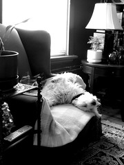 Dudley Hung Over (Michael Mitchener) Tags: bw dog mutt chair hungover dudley wingback thelittledoglaughed
