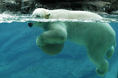 389105418 a7d2929ced m Are Polar Bears Endangered?