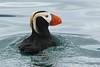 Puffin Chaser (Dave Schreier) Tags: ocean bird water alaska homer puffin abigfave colorphotoaward aplusphoto avianexcellence