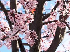 Japanese Pink (vajra) Tags: pink flowers flower plumblossom plumblossoms