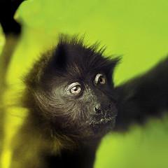 Black Monkey (steffanmacmillan) Tags: monkey nikon safari madagascar primate eastafrica furryfriend littlemonkey sigma30mmf14 25faves impressedbeauty superbmasterpiece madagascarsafari blackprimate