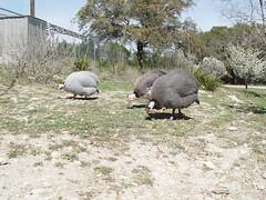 DSC01973 (batwrangler) Tags: austin tx guineafowl austintx austinzoo