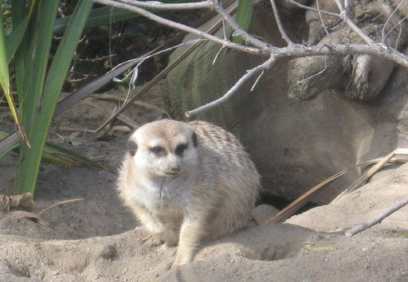 Adorable Meerkat.  Which may be some other animal