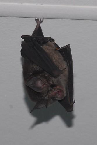 Insectivorous bat